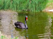 picture of black swan  - Black swan swimming on a green pond - JPG