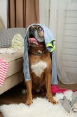 stock photo of messy  - Dog demolishes clothes in messy room - JPG