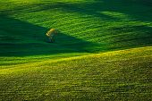 image of senesi  - Tuscany country rolling hills landscapeTuscany lonely tree and green fields on sunset - JPG