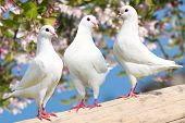 picture of pecker  - Three white pigeon on flowering background  - JPG