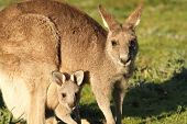 stock photo of gap  - Kangaroo mother grazing with Cub looking out of Pouch at Hall - JPG