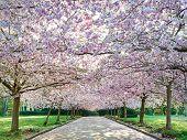 picture of cherry trees  - Beautiful japanese cherry tree avenue located at bispebjerg cemetery in Copenhagen Denmark  - JPG