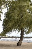 pic of weeping willow tree  - choppy waves and windswept beach at the lakeshore in fall - JPG