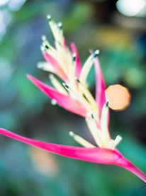 pic of heliconia  - Blurred heliconia flowers on green bokeh background - JPG