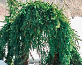 stock photo of weeping  - An unusual Norway weeping spruce that has formed an arch - JPG