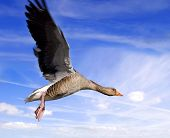 Goose On The Wing