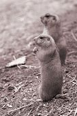 Prairie Dogs On Lookout