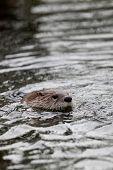 Fischotter (Lutra Lutra), auch bekannt als Eurasische Fischotter, Eurasische Fischotter, gemeinsame Otter und O