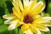 Calendula Flower (calendula Officianalis)
