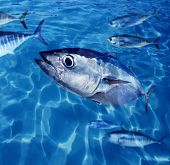 Bluefin tuna Thunnus thynnus fish school underwater swimming blue ocean