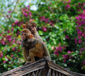 Monkey Island Macaques