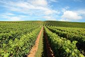 New Zealand vineyard - Beautiful lush, green vineyard rising into a perfect blue sky...