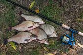 Постер, плакат: Pile Of The Common Bream Fish Crucian Fish Or Carassius Roach Fish On The Natural Background Catc