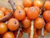 Sea Buckthorn Berries 01