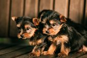 Two Funny Small Yorkshire Terrier Puppies Dogs Sitting In Wooden Bench. Yorkie Puppy. poster