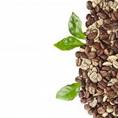mixed of unroasted live and brown coffee beans  , border with leaves coffee tree , on white background