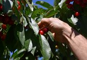 Picking Fresh Organic Sour Cherries Hanging In The  Cherry Tree. Close-up On Ripe Cherry Fruits On A poster