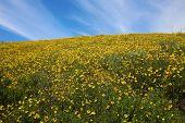 Super bloom. California wild flower super bloom. California hills awash with wild flowers blooming a poster