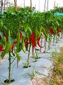 Planta de pimiento Chile rojo, muy caliente!