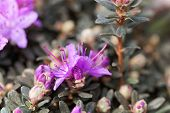 Blossom Of The Blue Dwarf Rhododendron Rhododendron Impeditum poster