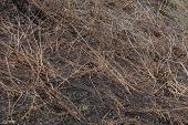 Natural Plant Texture From Dry Brown Branches On Black Burnt Ground poster