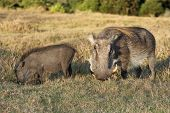 Warthog Mother And Baby