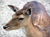 Closeup Of A Deer