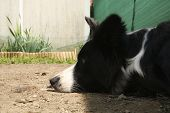 Close-up Snout Of A Border Collie Lying In The Garden, Animals And Nature poster