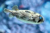 Slender-spined Porcupine Fish