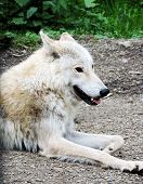 Portrait Of Grey Wolf. Captive Animal. Beautiful Wolf. Beautiful Summer Landscape, Wolf In Forest, W poster