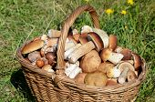 Basket with boletus edulis on a grass