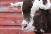 Goat Kid II