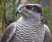 picture of goshawk  - A female goshawk close up as she rests on a perch. ** Note: Slight graininess, best at smaller sizes - JPG