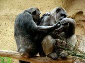 Couple Of Monkeys In Branch Of Tree