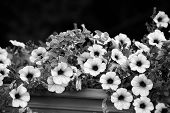 Black And White Petunia Flowers