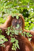 A Wild Female Orangutan Peers Out From Behind A Tree