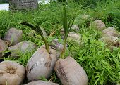 Coconuts germinating