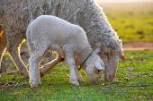 cute little lamb and sheep on field