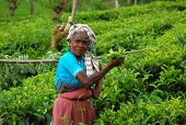 Lady Tea Plucker At The Plantation