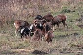 A male mouflon stand whit group of female