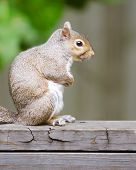Portrait of eastern gray squirrel (Sciurus carolinensis)