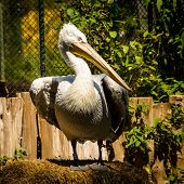 stock photo of schoenbrunn  - Portrait of Dalmatian Pelican in Zoo Schoenbrunn - JPG