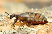 beetle outdoor (meloe proscarabaeus)
