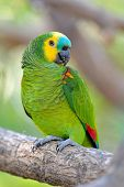 Blue-Fronted Amazon (Amazona aestiva xanthopteryx)