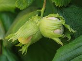 stock photo of hazelnut tree  - Hazelnut on the bough hanging on the hazelnut tree