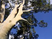 Gum Trees And Blue Skies In Melbourne