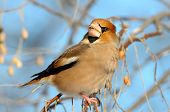 adult hawfinch on branch (coccothraustes coccothraustes)