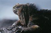 Ecuador Galapagos Islands Marine Iguana resting on rock close up