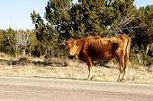 pic of open grazing area  - Thin cow grazing on the side of the road in open range area of US - JPG