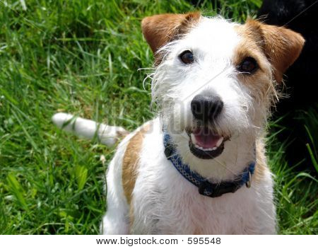 Parson Jack Russell Terrier Poster ID:595548